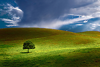 Lone tree in pasture. Hawaii, The Big Island.