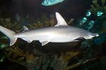 Bonnethead shark swimming right over shallow coral reef, medium shot.