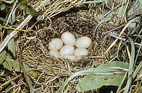 Krickente, Ei, Eier, Gelege im Nest, Krick-Ente, Anas crecca, green-winged teal