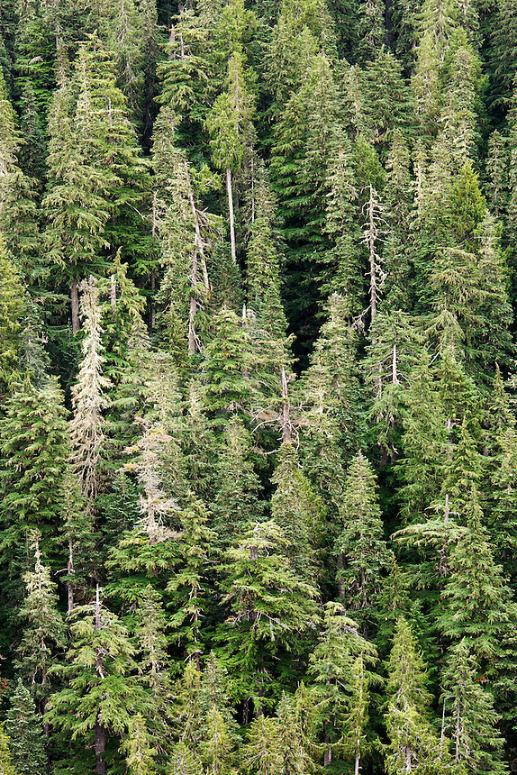 Aerial view of Pacific Northwest old growth forest, Mount Rainier National Park, Washington, USA