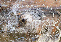 BNPS.co.uk (01202) 558833<br /> Pic: ZacharyCulpin/BNPS<br /> <br /> Animals at Longleat in Wiltshire stay cool in the heat<br /> <br /> Wild swimming - a pack of European wolves enjoy a cooling dip at Longleat as temperatures<br /> start to rise ahead of a predicted heatwave over the weekend.<br /> The wolves, which were once native across the UK, were introduced to their Wiltshire<br /> woodland home in 2019.<br /> Since arriving at Longleat the pack has grown significantly with the arrival of two sets of<br /> cubs.<br /> ìThe wolves actually love the water, especially during the summer, and will spend quite a lot<br /> of time splashing about in their pond and using it as somewhere to cool down,î said keeper<br /> Ian Turner.