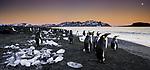 King penguins on the beach at dusk, South Georgia Island, UK