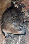 rock hyrax, vertical