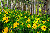 Tom Mackie, LANDSCAPES, LANDSCHAFTEN, PAISAJES, photos,+America, American, Colorado, Crested Butte, North America, Tom Mackie, USA, aspen, aspens, beautiful, dramatic outdoors, flow+er, flowers, green, horizontal, horizontals, landscape, landscapes, mules ear sunflower, natural landscape, tree, trees, wild+flower, wildflowers, yellow,America, American, Colorado, Crested Butte, North America, Tom Mackie, USA, aspen, aspens, beauti+ful, dramatic outdoors, flower, flowers, green, horizontal, horizontals, landscape, landscapes, mules ear sunflower, natural+,GBTM190215-1,#l#, EVERYDAY