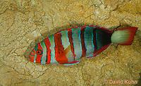 0513-1002  Harlequin Tusk Wrasse, Harlequin Tuskfish, Choerodon fasciatus (syn. Lienardella fasciata) © David Kuhn/Dwight Kuhn Photography