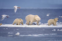 polar bear, Ursus maritimus, mother with cubs walking along the Arctic coast, 1002 coastal plain of the Arctic National Wildlife Refuge, Alaska, polar bear, Ursus maritimus