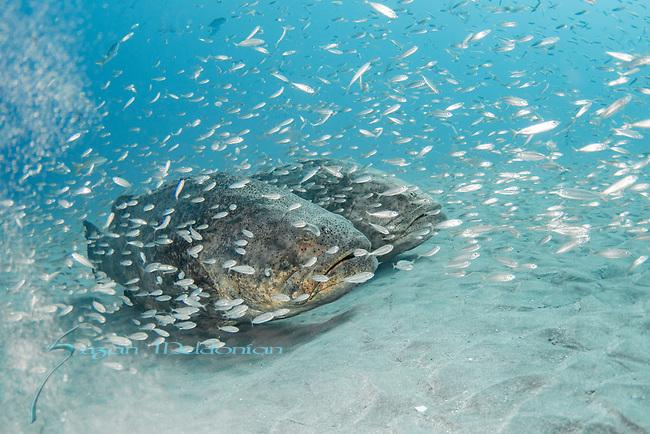 Atlantic goliath grouper, bait fish, endangered species, Epinephelus itajara, Goliath Groupers and bait balls, itajara, IUCN Red List vulnerable, jewfish, sardines,