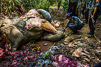 A team of police, vets, MTE staff, and members of EERU inspects the carcass of a 14-year-old male wild elephant killed for its tusk and skin by poachers just a day earlier, just outside Baw Mi forest reserve area in Thar Paung.