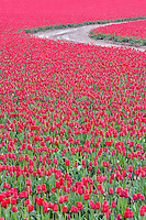 Field of red tulips with road. Near Mt. Vernon, Washington