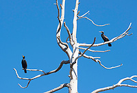 Double-crested Cormorants, Phalacrocorax auritus, perches in a dead tree at Lake Ewauna, Klamath Falls, Oregon