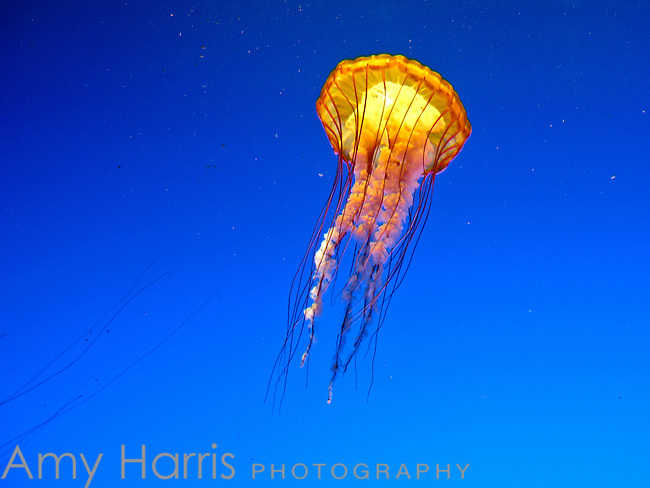 A jellyfish in blue water.