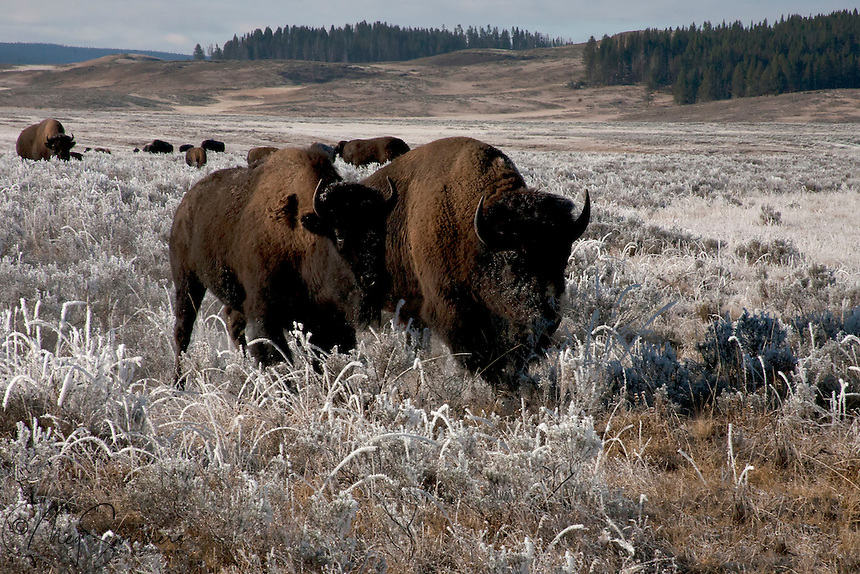"""Bison mating season, known as the """"rut"""", is generally early August.  These two were still a pair in October and sharing the transition from summer to fall."""
