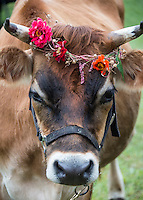 Steer with flower wreath.