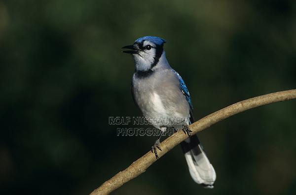 Blue Jay, Cyanocitta cristata,adult, San Antonio, Texas, USA, Oktober 2003
