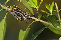 Europäischer Brahmaspinner, Raupe, Raupen, Brahmaea europaea, Bramaea europaea, Acanthobrahmea europaea, Acanthobramea europaea, European owl moth, European Brahmin, caterpillar, La Brahméide d'Hartig