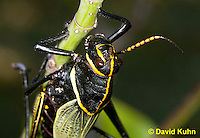 0913-0808  Adult Horse Lubber Grasshopper - Taeniopoda eques © David Kuhn/Dwight Kuhn Photography.