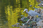 Ding Darling National Wildlife Refuge, Sanibel Island, Florida; a little blue heron foraging for food in the shallow water along the rocky shoreline in the early morning