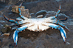 Blue crab upside down shows all white bottom of animal.