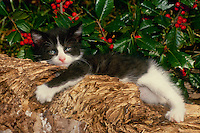 Adorable black and white kitten lying under holly bush in playful pose, Midwest USA