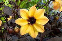 Dahlia Mystic Haze ('Dark Side of the Sun') single flowers in peachy yellow with dark black purple foliage