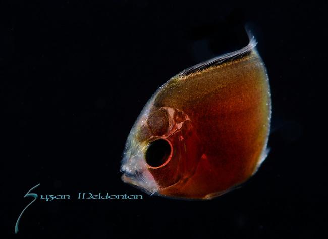 Angelfish larva, Cherubfish probably Centropyge argi, ID-Benjamin Victor, Plankton, pelagic marine life, Gulfstream Current, Atlantic Ocean, SE Florida,USA.