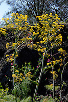 Steckenkraut (Ferula communis), Sizilien, Italien