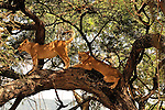 Africa  Lake Manyara  lion in tree