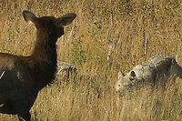 This ill fated cow elk injured a front foot quite badly.  It appeared festered and painful. She was unable to evade this wolf and though fighting to survive to the end - ultimately succumbed