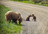 Brown bear with playful cubs in Danali National Park, Alaska, USA