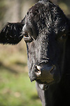 Brazoria County, Damon, Texas; a close up, head shot of a black cow side lit by early morning sunshine