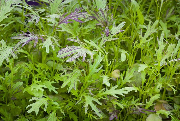 Gourmet salad greens Mustard Ruby Streaks Brassica juncea