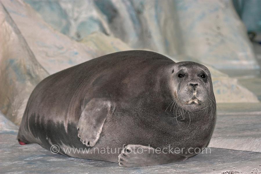 Bartrobbe, Bart-Robbe, Bart - Robbe, Erignathus barbatus, Bearded seal, Phoque barbu