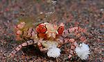Mosaic Boxer crab, Lybia tesselata, Underwater macro marine life images;  Photographed in Tulamben; Liberty Resort; Indonesia.Underwater Macro Photographer on FB 2nd Annual event