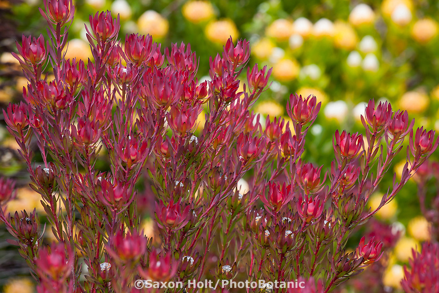 Leucadendron salignum 'Winter Red',  Red Cone Bush, South Afriacn shsrub