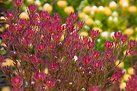 Leucadendron salignum 'Winter Red',  Red Cone Bush, South Afriacn shsrub
