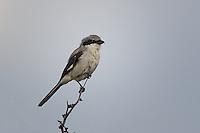 Loggerhead Shrike, San Angelo State Park, TX