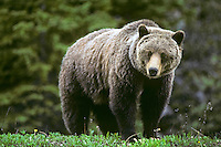 Grizzly bear (Ursus arctos), Northern Rockies.