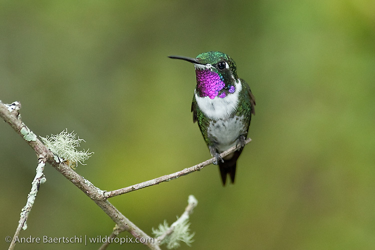 White-bellied Woodstar (Chaetocercus mulsant), male, montane rainforest or cloud forest, Utcubamba Valley, northern Peru