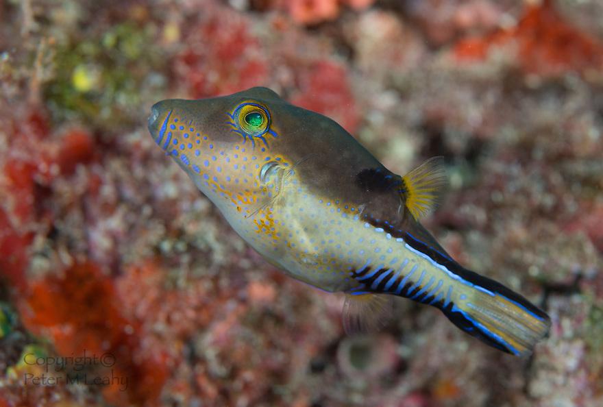 Sharpnose Pufferfish