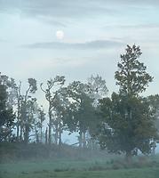 Moon set behind native totara trees on misty winter dawn on farmland in Whataroa, South Westland, West Coast, South Island, New Zealand, NZ