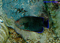 0120-08qq  Potters Angelfish - Centropyge potteri © David Kuhn/Dwight Kuhn Photography