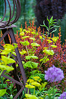 Smyrnium perfoliatum - Yellow Alexanders; O'Byrne Garden