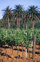 Europe/Provence-Alpes-Côte d'Azur/83/Var/Env La Londe-des-Maures: Vignoble (AOC Côte de Provence) et palmiers
