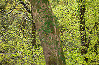 Ivy growing on a tree trunk with backlit spring leaves, Sanquhar, Dumfries.....Copyright..John Eveson,.Dinkling Green Farm,.Whitewell,.Clitheroe,.Lancashire..BB7 3BN.Tel. 01995 61280.Mobile 07973 482705.j.r.eveson@btinternet.com.www.johneveson.com