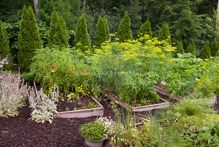 Vegetable garden edibles, raised beds, mulch, picket fence, evergreen border hedge, hostas in flowers, lambsears, tomatoes, herbs, peppers, mixture of pretty veggies