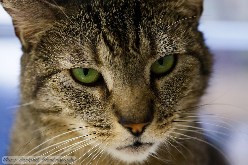 """Trista, a three year old female short-haired brown tabby cat with green eyes (and a white chin), staring off into the distance in this super-closeup image focusing just on her face.  I love how proud and strong she looks here; """"don't mess with me"""" is almost certainly her motto.  Trista has a face that looks somewhat like a mountain lion to me; a bit more elongated than your typical domesticated cat.  Trista is up for adoption at Miss Kitty's Rescue in Costa Mesa, CA.  This picture was taken pro bono for Miss Kitty's Rescue to help them advertise the cats for adoption."""