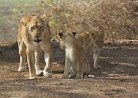 Mother with cubs in the Okavango Delta, Botswana Africa,