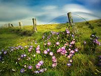 Fenceline and Morning Glory flowers. Hawaii, The Big island.