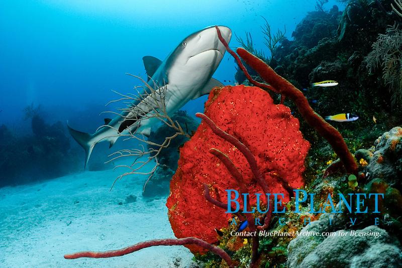 Caribbean reef shark, Carcharhinus perezii, on coral reef with orange elephant ear sponges, Agelas clathrodes, & red rope sponges, Bahamas (W. Atlantic) (do)