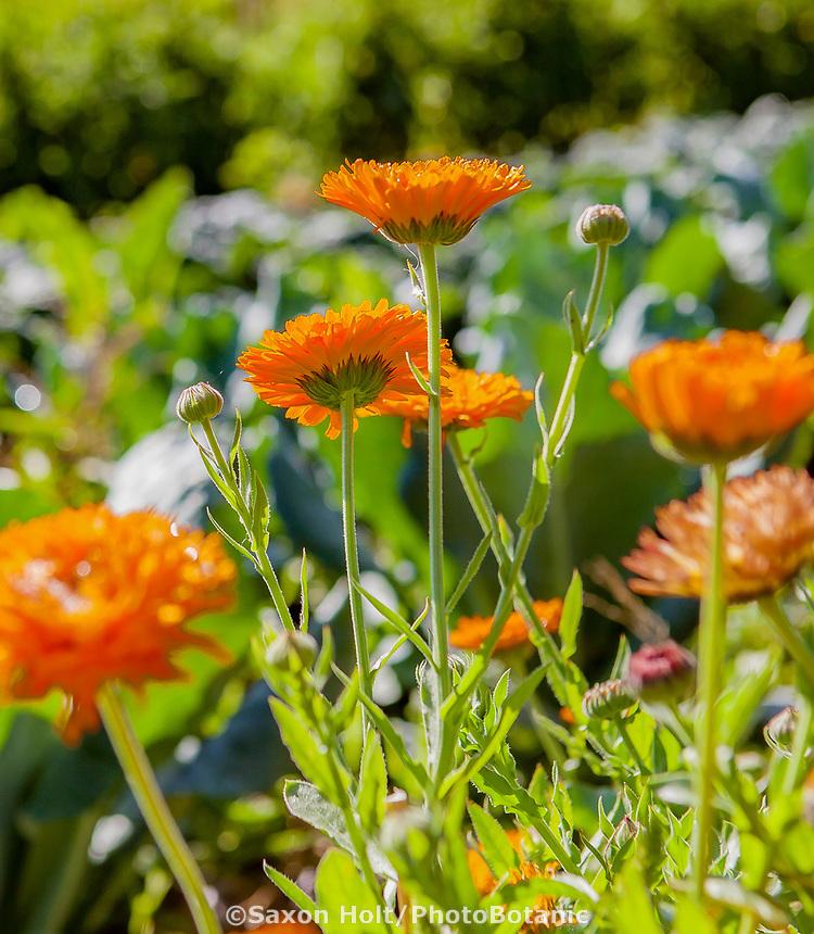 No-till flower farming, Calendula edible flowers backlit in sun; Singing Frogs Farm